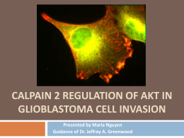 CALPAIN 2 REGULATION OF AKT IN GLIOBLASTOMA CELL INVASION