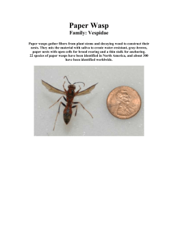 Paper Wasp Family: Vespidae