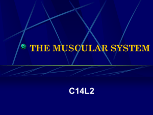 THE MUSCULAR SYSTEM C14L2