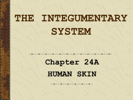 chapter 6 skin and the integumentary system study guide The integumentary system study guide chapter of this human biology study guide course is the simplest way to master material on the integumentary system this chapter uses simple and fun videos that are about five minutes long, plus lesson quizzes and a chapter exam to ensure you learn the essential facts on the integumentary system.