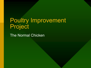 Poultry Improvement Project The Normal Chicken
