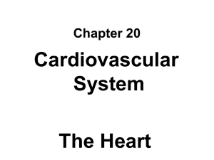 Cardiovascular System The Heart Chapter 20