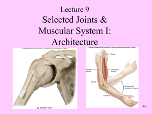 Selected Joints & Muscular System I: Architecture Lecture 9