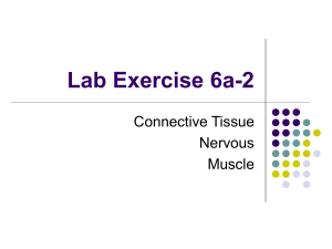 Lab Exercise 6a-2 Connective Tissue Nervous Muscle