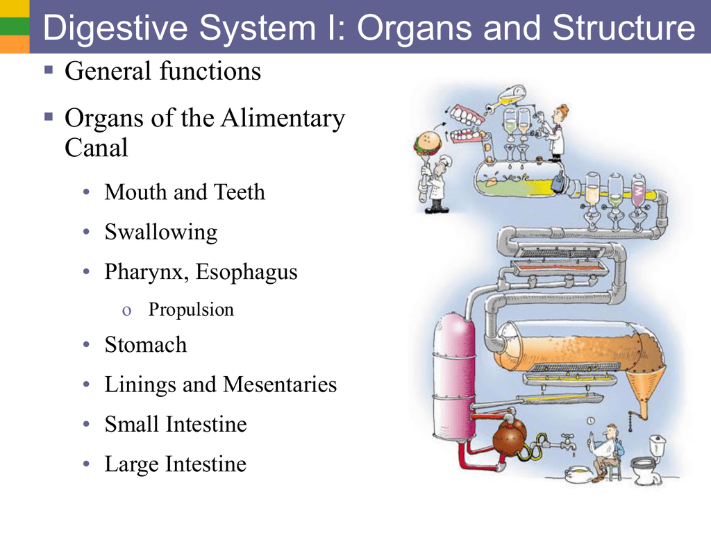Digestive System I Organs And Structure General Functions Organs Of The Alimentary