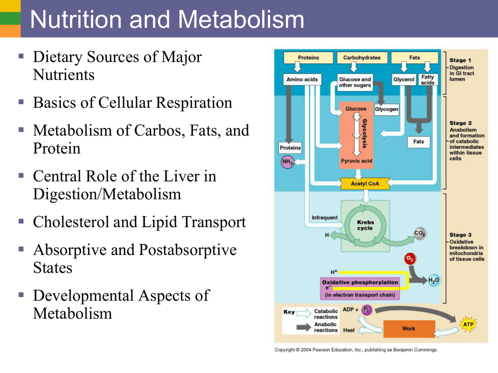 absorptive and postabsorptive state of metabolism