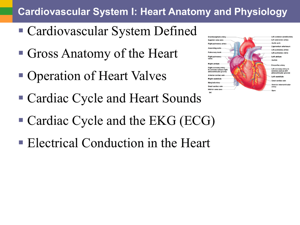 Cardiovascular System Defined Gross Anatomy of the Heart Operation ...