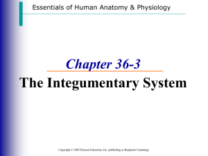 The Integumentary System Chapter 36-3 Essentials of Human Anatomy & Physiology