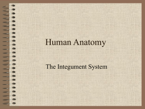 Human Anatomy The Integument System
