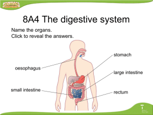 8A4 The digestive system Name the organs. Click to reveal the answers. stomach