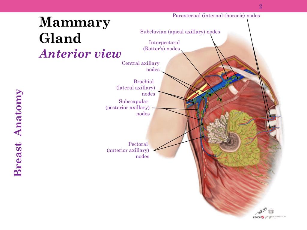 Mammary Gland Anterior view 2