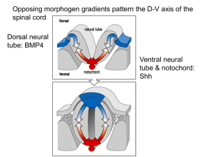 Opposing morphogen gradients pattern the D-V axis of the spinal cord