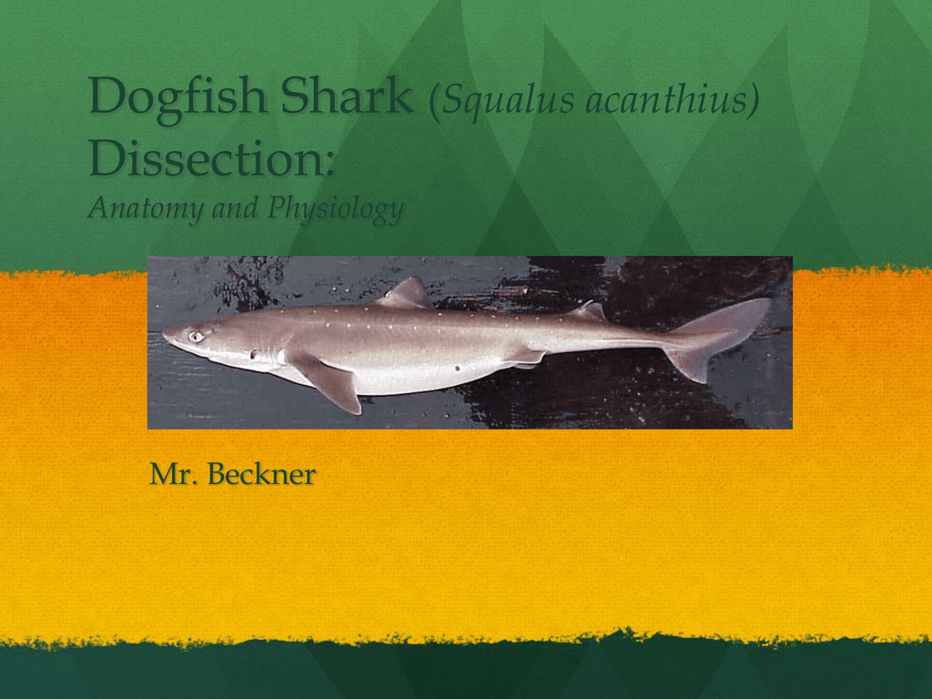 Dogfish Shark Dissection: Squalus acanthius) Anatomy and Physiology