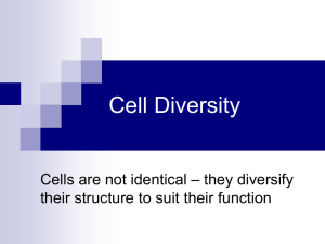 Cell Diversity – they diversify Cells are not identical