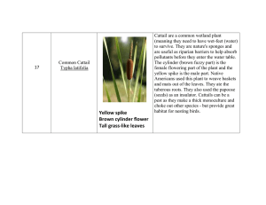 Cattail are a common wetland plant