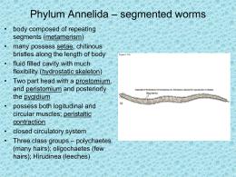Phylum annelida.