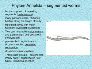 – segmented worms Phylum Annelida
