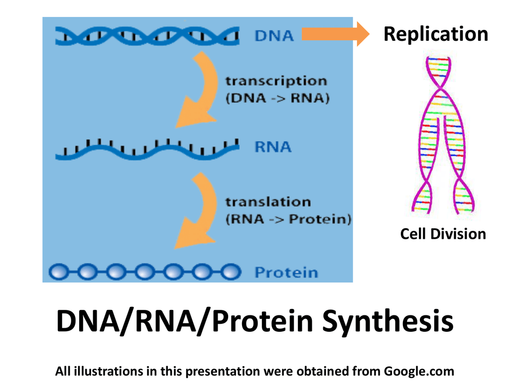 DNA/RNA/Protein Synthesis Replication Cell Division