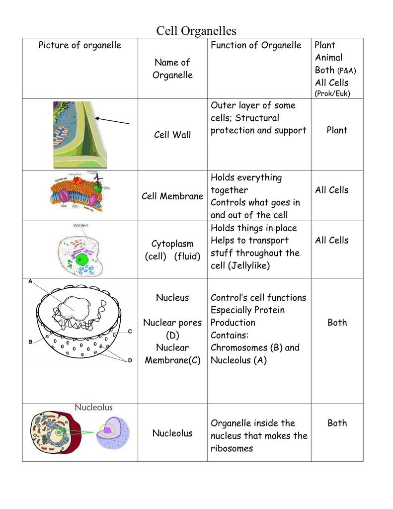 Cell organelles worksheet pdf