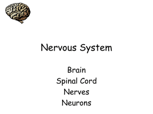 Nervous System Brain Spinal Cord Nerves