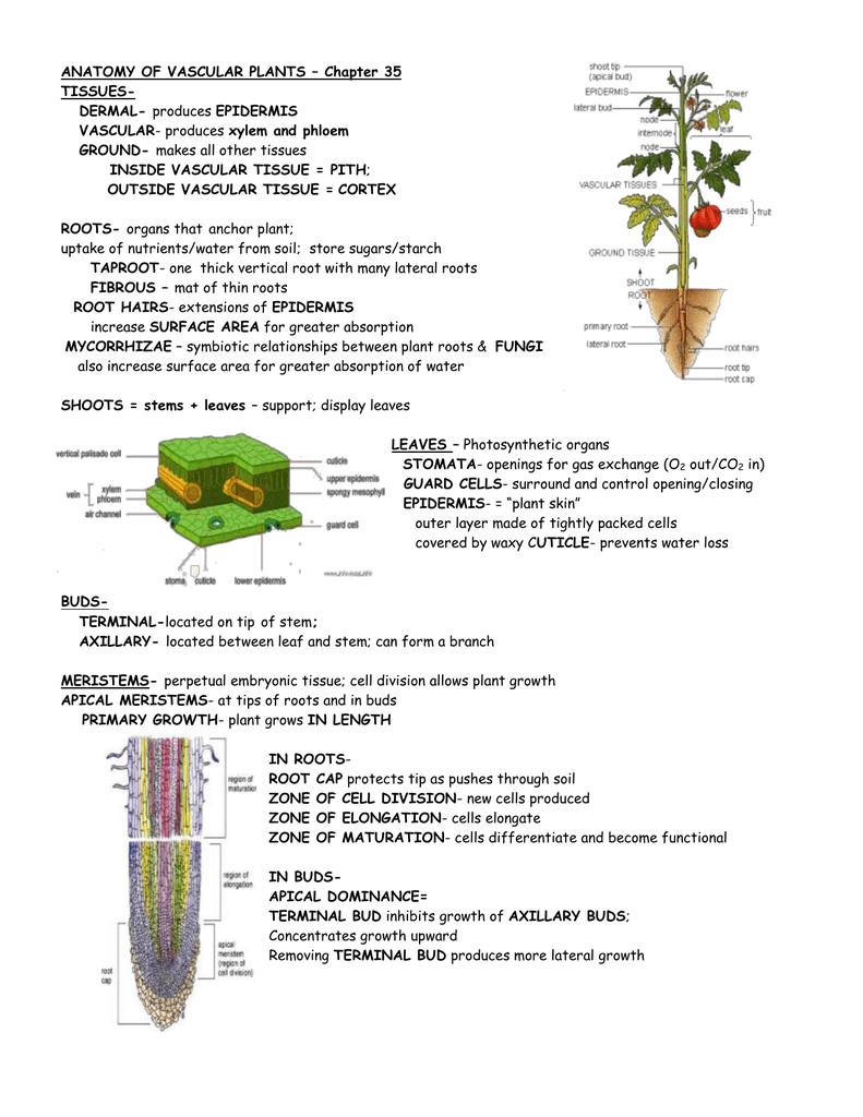 Anatomy Of Vascular Plants Chapter 35 Tissues Dermal Vascular