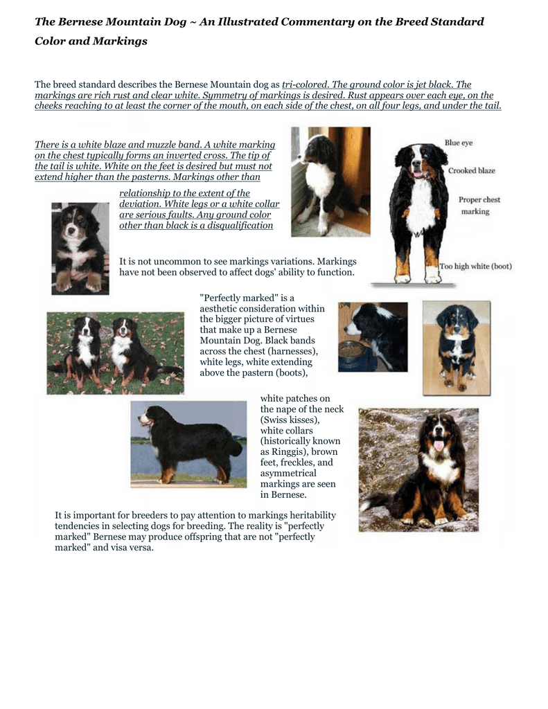 Bernese Mountain Dog Color And Markings
