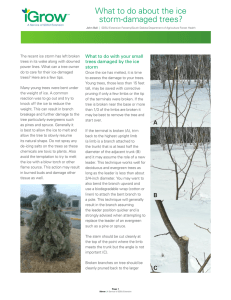 What to do about the ice storm-damaged trees?