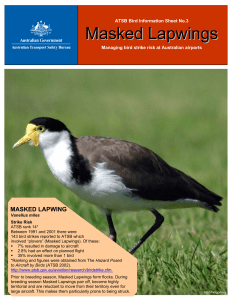 Masked Lapwings - Australian Transport Safety Bureau (ATSB)