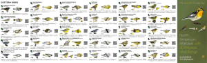 North American Warblers fold out